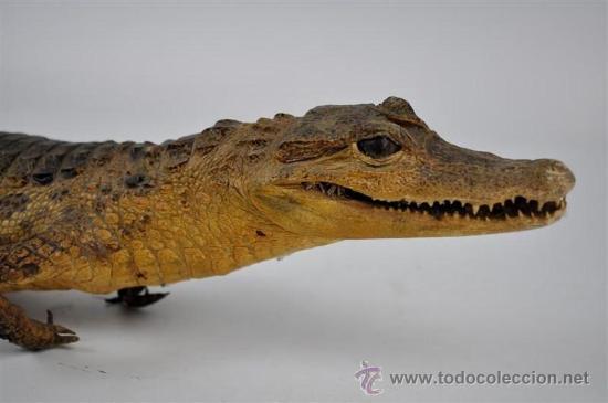 Antigüedades: trofeo de caza disecado cocodrilo - Foto 2 - 32576531