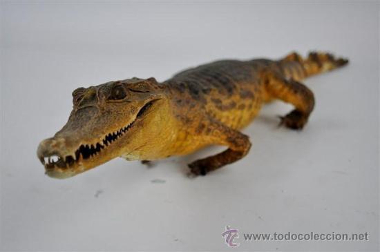 Antigüedades: trofeo de caza disecado cocodrilo - Foto 3 - 32576531