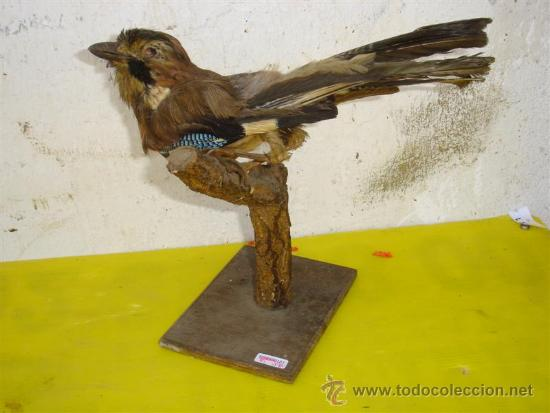 PAJARO RARO DISECADO (Antigüedades - Hogar y Decoración - Trofeos de Caza Antiguos)