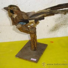 Antigüedades: PAJARO RARO DISECADO. Lote 32576533