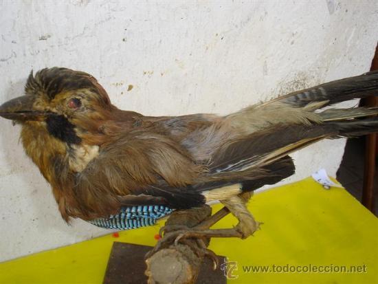 Antigüedades: pajaro raro disecado - Foto 2 - 32576533