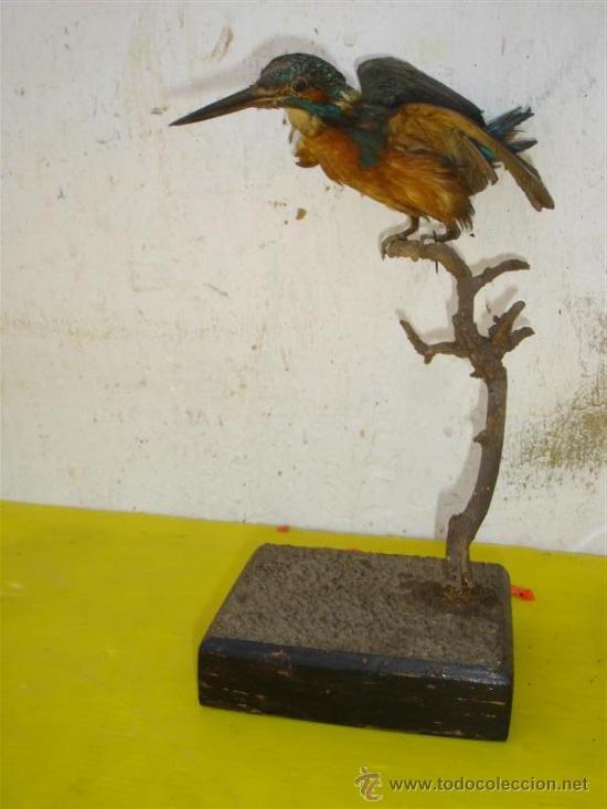 MARTIN PESCADOR DISECADO (Antigüedades - Hogar y Decoración - Trofeos de Caza Antiguos)