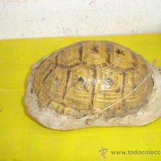 Antigüedades: PEQUEÑO CAPARAZON DE TORTUGA. Lote 32700198