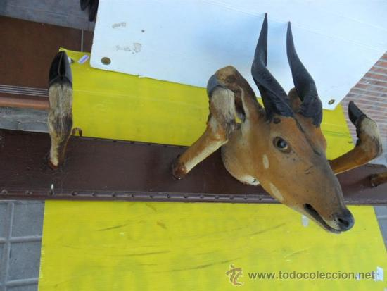 Antigüedades: trofeo de caza cabeza de antilope con patas de percha - Foto 6 - 38599408