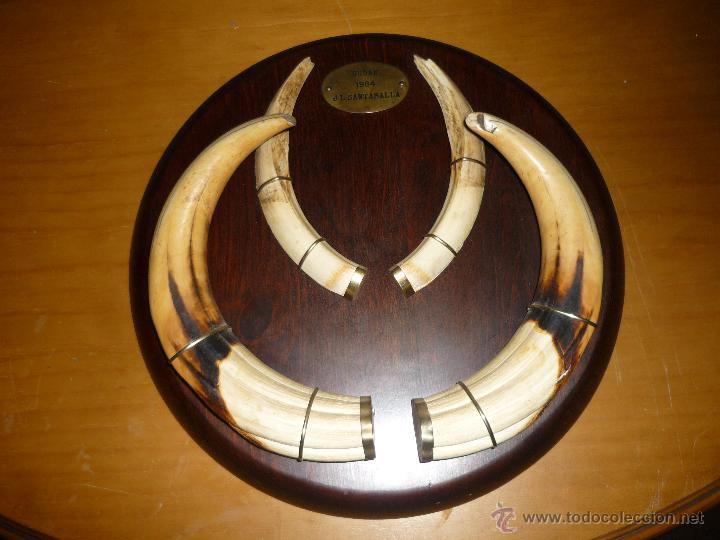 Trofeo oro colmillos de facochero sudan cazador comprar for Trofeos caza decoracion