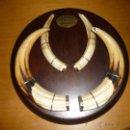 Antigüedades: TROFEO ORO COLMILLOS DE FACOCHERO SUDAN CAZADOR PROFESIONAL J.L. SANTABALLA 1984.ENVIO GRATIS. Lote 39865414