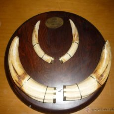 Antigüedades: TROFEO ORO COLMILLOS DE FACOCHERO SUDAN CAZADOR PROFESIONAL J.L. SANTABALLA 1984.ENVIO GRATIS. Lote 39865450