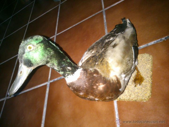 Antigüedades: ANTIGUO PATO DISECADO SOBRE BASE DE MADERA. TAXIDERMIA - Foto 4 - 40175744