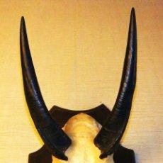 Antigüedades: FRONTAL Y CUERNOS DE ANTÍLOPE JEROGLÍFICO (BUSHBUCK) AFRICANO. Lote 42579981