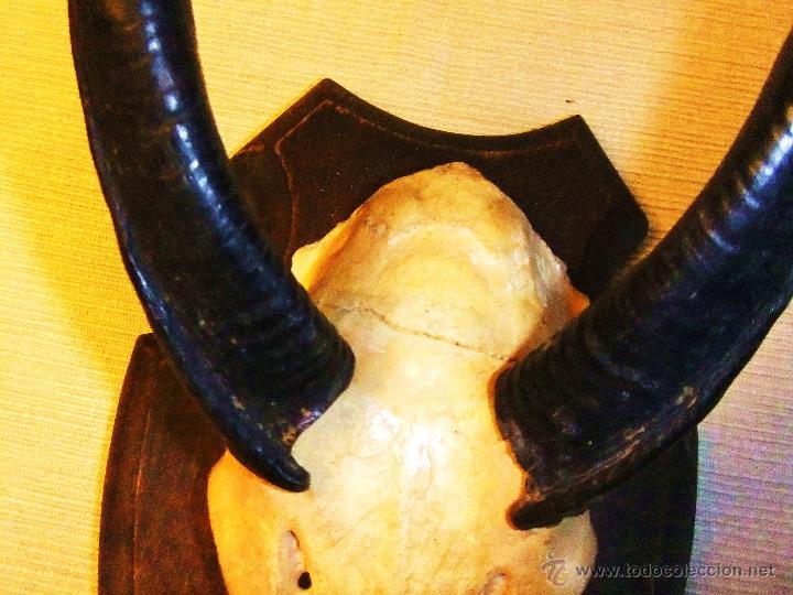 Antigüedades: FRONTAL Y CUERNOS DE ANTÍLOPE JEROGLÍFICO (BUSHBUCK) AFRICANO - Foto 2 - 42579981