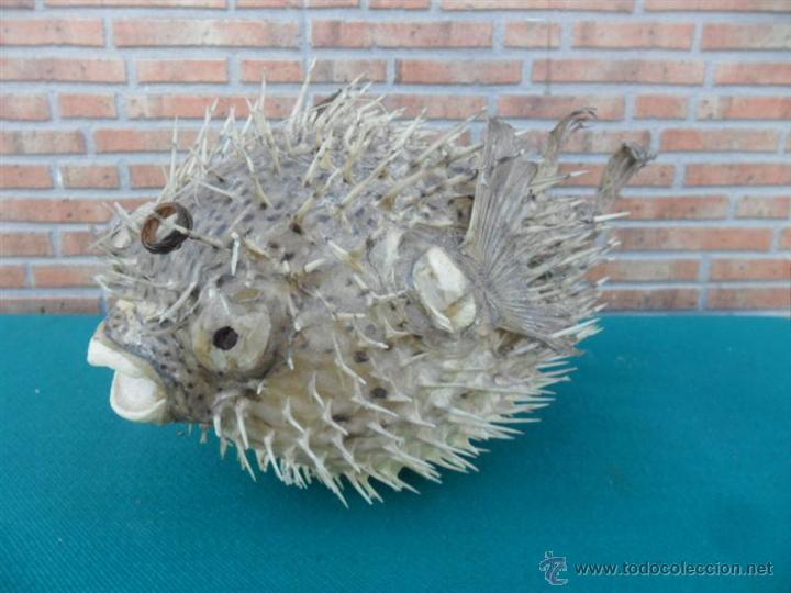 Antigüedades: pez globo disecado - Foto 2 - 44266438
