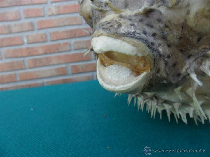 Antigüedades: pez globo disecado - Foto 3 - 44266438