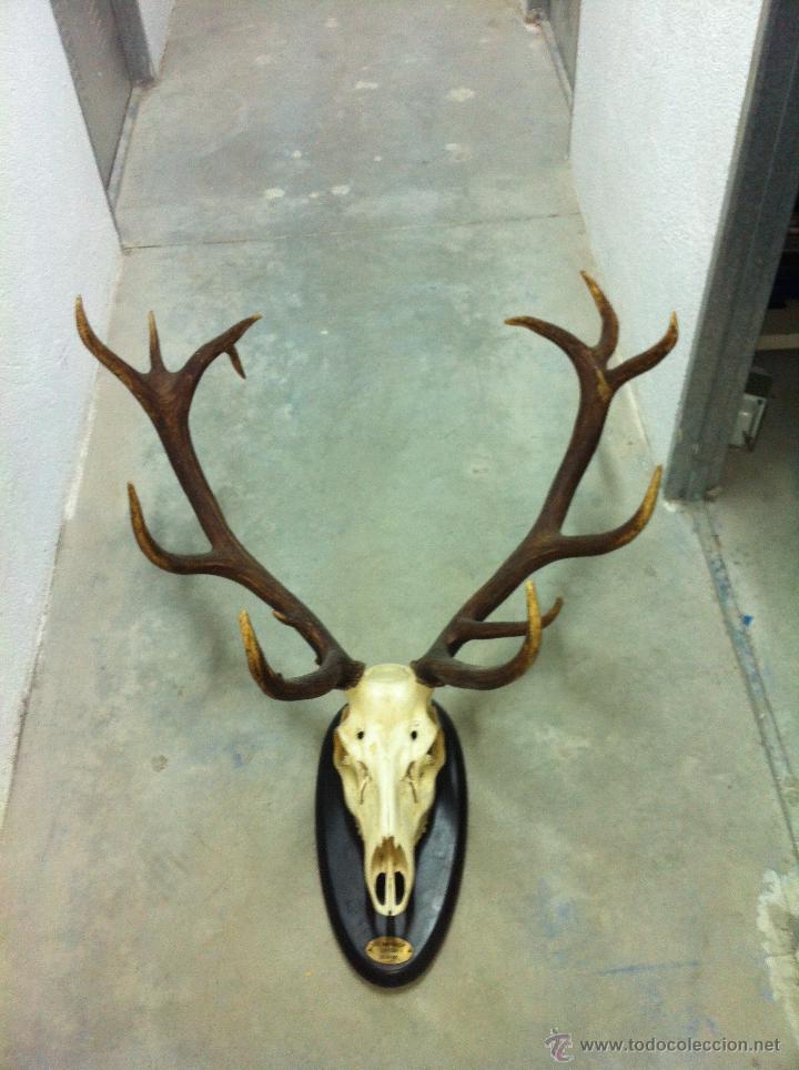 Trofeo de caza de ciervo venado 13 comprar for Trofeos caza decoracion