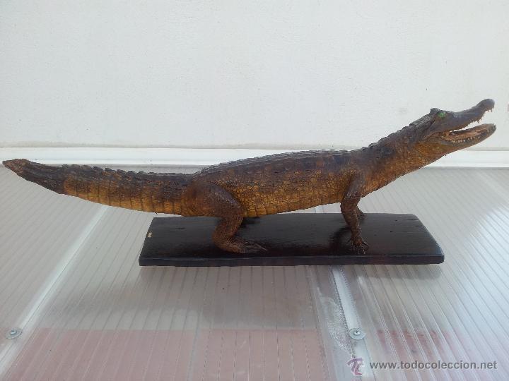 Cocodrilo o caiman disecado para decoraci n comprar for Trofeos caza decoracion
