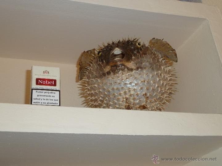 Antigüedades: pez globo disecado - Foto 2 - 53596139