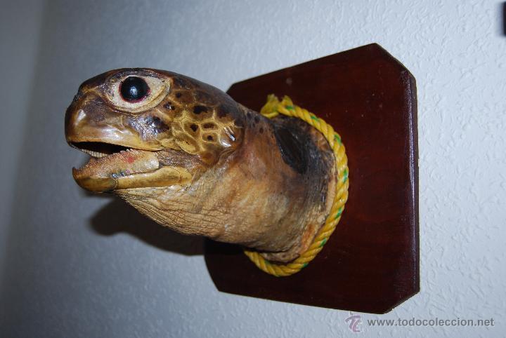 CABEZA DE TORTUGA MARINA DISECADA - SOBRE PEANA DE MADERA - TAXIDERMIA (Antigüedades - Hogar y Decoración - Trofeos de Caza Antiguos)