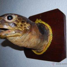 Antigüedades: CABEZA DE TORTUGA MARINA DISECADA - SOBRE PEANA DE MADERA - TAXIDERMIA. Lote 53647471
