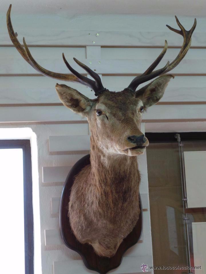 Magnifica cornamenta con cabeza de ciervo ven comprar for Cabeza de ciervo