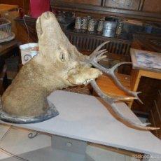 Antigüedades: GRAN CABEZA DE CIERVO TAXIDERMIA, TROFEO DE CAZA,. Lote 119281560