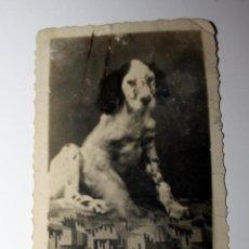 Antigüedades: FOTO ANTIGUA. EXCEPCIONAL FOTO PUBLICITARIA DE PERRERAS ESPAÑOLAS. TARRAGONA. - SETTER INGLÉS. Lote 57025072
