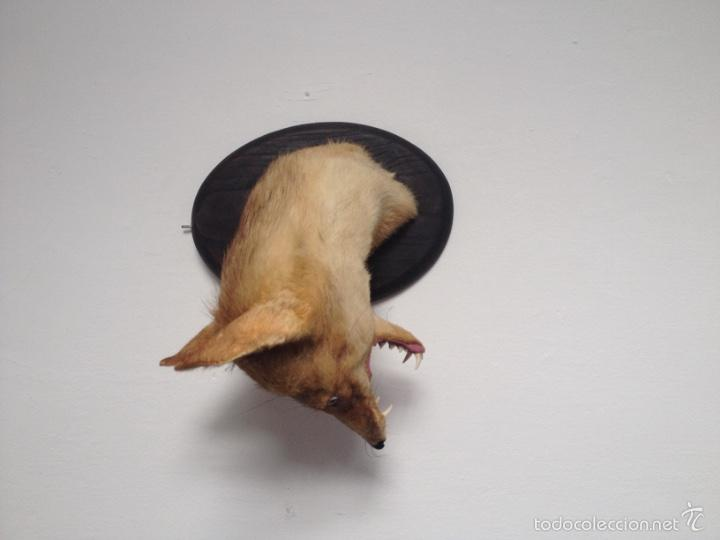 Antigüedades: Cabeza zorro disecado. Trofeo taxidermia. - Foto 2 - 57706071