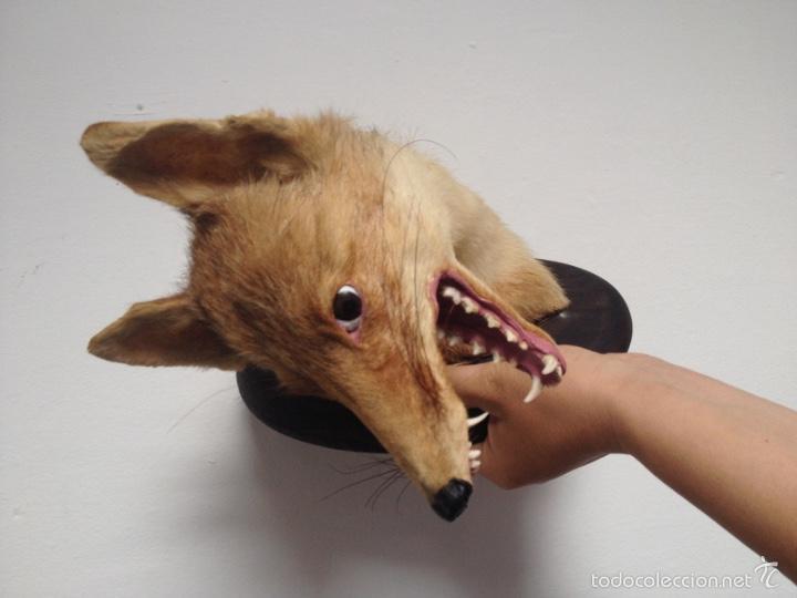 Antigüedades: Cabeza zorro disecado. Trofeo taxidermia. - Foto 4 - 57706071