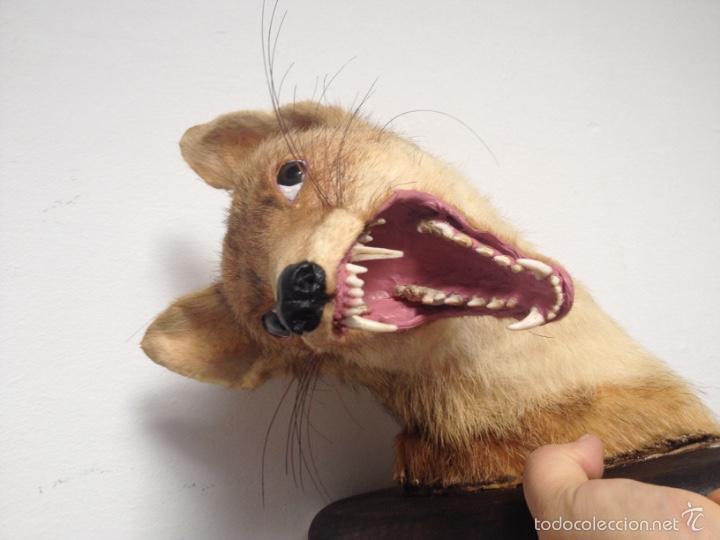 Antigüedades: Cabeza zorro disecado. Trofeo taxidermia. - Foto 5 - 57706071