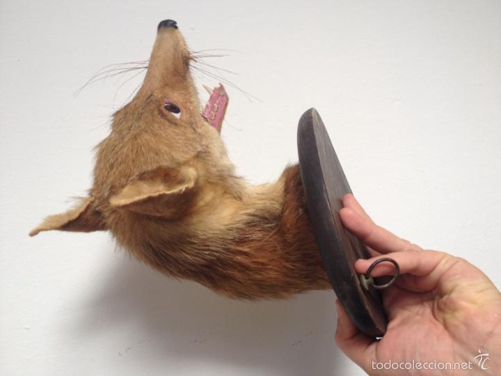 Antigüedades: Cabeza zorro disecado. Trofeo taxidermia. - Foto 7 - 57706071