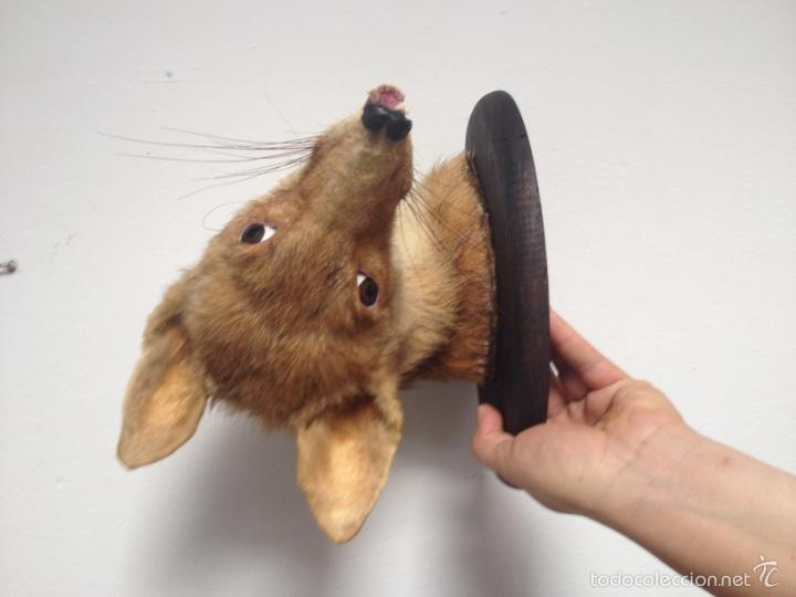 Antigüedades: Cabeza zorro disecado. Trofeo taxidermia. - Foto 8 - 57706071