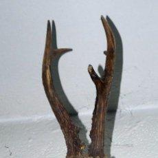 Antigüedades: CRANEO DE CORZO SOBRE TABLA. Lote 58116015