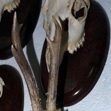 Antigüedades: CRANEO DE CORZO SOBRE TABLA. Lote 58116064