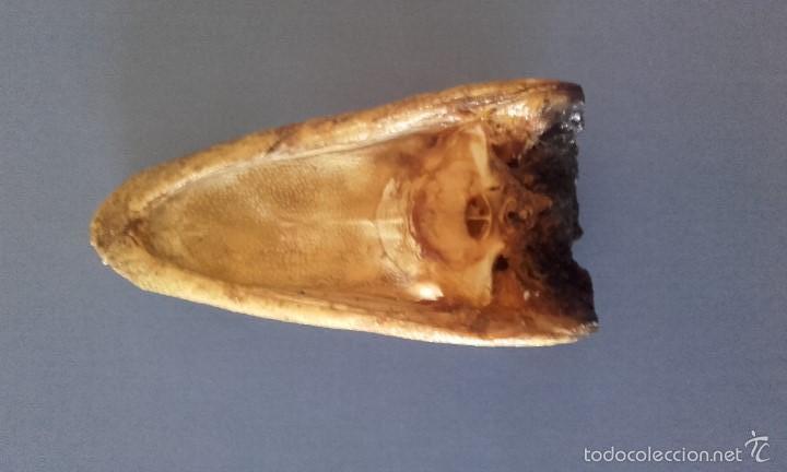 Antigüedades: CABEZA DE COCODRILO DISECADA - TAXIDERMIA AUTÉNTICA - Foto 5 - 213195051