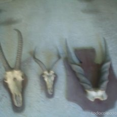 Antigüedades: LOTE TROFEO CAZA AFRICA ORIGINAL GRAN KUDU ORYX GACELA. Lote 59978435