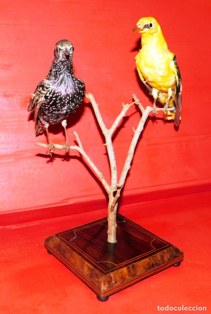 Antigüedades: PAREJA PAJAROS DISECADOS OROPENDOLA Y ESTORNINO 25 CMS PEANA ISABELINA, INCREIBLE MONTAJE Y ESTADO - Foto 18 - 63282576