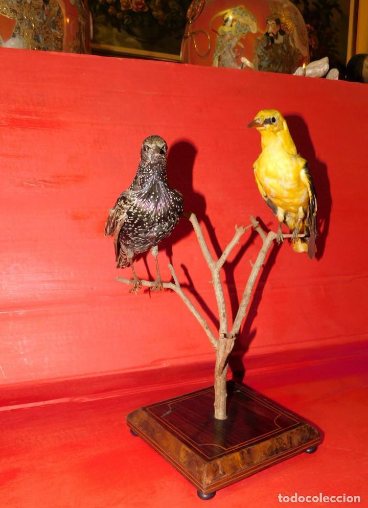 Antigüedades: PAREJA PAJAROS DISECADOS OROPENDOLA Y ESTORNINO 25 CMS PEANA ISABELINA, INCREIBLE MONTAJE Y ESTADO - Foto 19 - 63282576