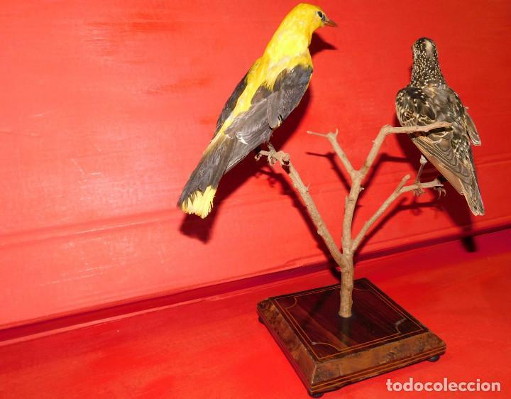 Antigüedades: PAREJA PAJAROS DISECADOS OROPENDOLA Y ESTORNINO 25 CMS PEANA ISABELINA, INCREIBLE MONTAJE Y ESTADO - Foto 23 - 63282576