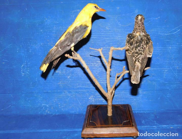 Antigüedades: PAREJA PAJAROS DISECADOS OROPENDOLA Y ESTORNINO 25 CMS PEANA ISABELINA, INCREIBLE MONTAJE Y ESTADO - Foto 34 - 63282576