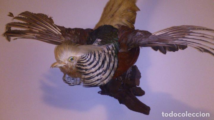Antigüedades: Faisan disecado - Taxidermia - Foto 2 - 70513933