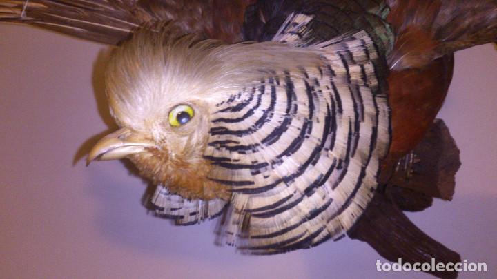 Antigüedades: Faisan disecado - Taxidermia - Foto 3 - 70513933