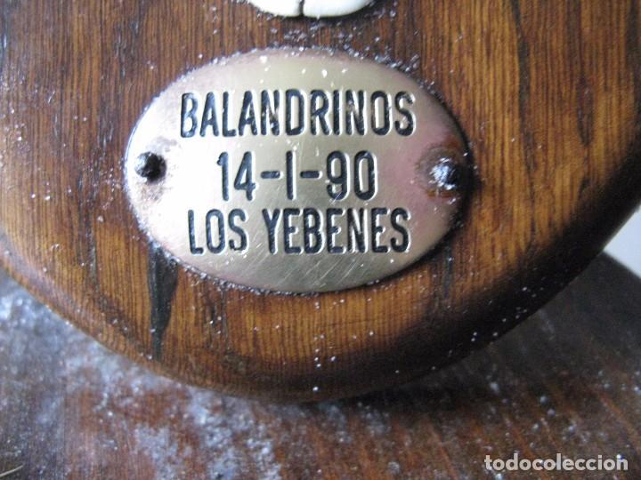 Antigüedades: TROFEO DE CAZA CIERVO, VENADO, BALANDRINOS, LOS YEBENES - Foto 4 - 72654215