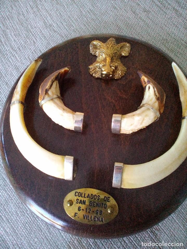 Trofeo o recuerdo con colmillos de jabal en comprar for Trofeos caza decoracion