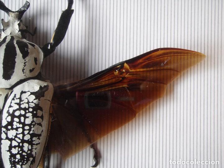 insecto escarabajo disecado enmarcado goliathus - Comprar ...
