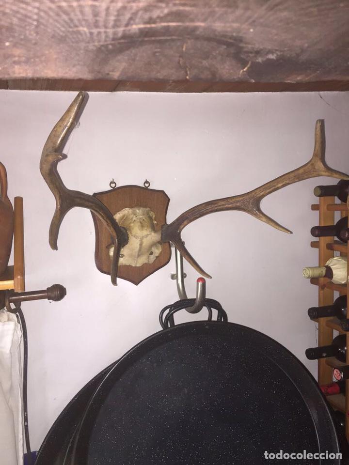 TROFEO DE CAZA CORNAMENTA CIERVO (Antigüedades - Hogar y Decoración - Trofeos de Caza Antiguos)