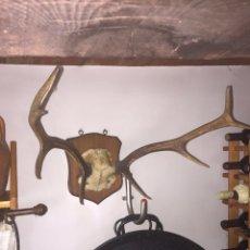 Antigüedades: TROFEO DE CAZA CORNAMENTA CIERVO. Lote 88985482