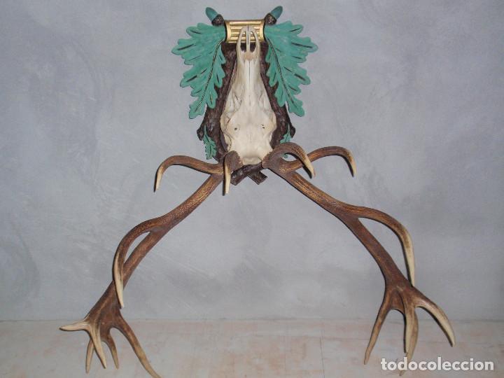 Antigüedades: CUERNA DE CIERVO MAGNIFICA HUESO - Foto 2 - 89863232