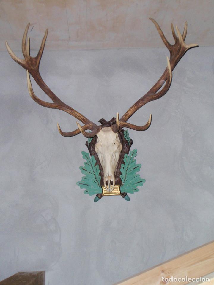Antigüedades: CUERNA DE CIERVO MAGNIFICA HUESO - Foto 7 - 89863232