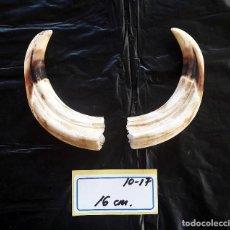 Antiguidades: COLMILLOS DE FACOCHERO ESCOGIDOS PARA JOYERÍA. Lote 90173836