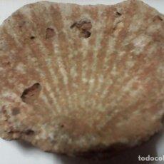 Antigüedades: FOSIL DE CONCHA. Lote 90466699