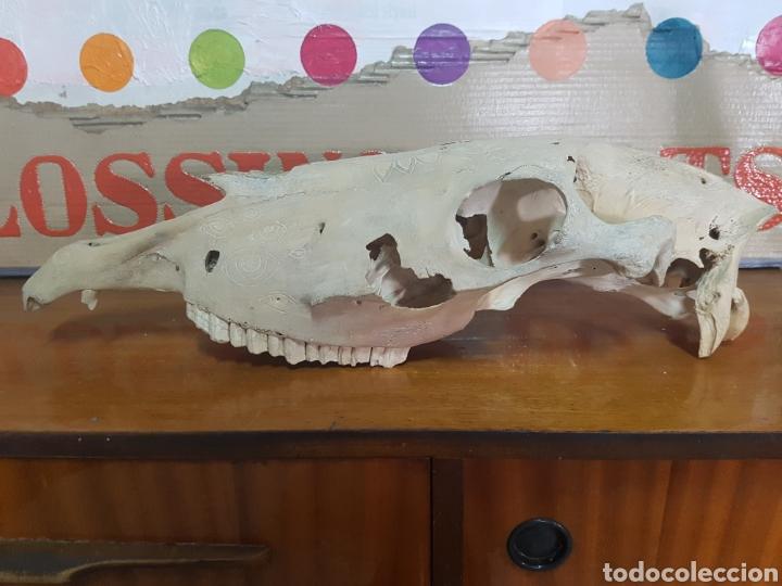 CRÁNEO DE CABALLO TALLADO. RARO (Antigüedades - Hogar y Decoración - Trofeos de Caza Antiguos)