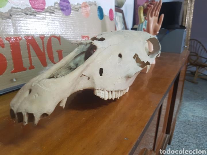 Antigüedades: Cráneo de caballo tallado. Raro - Foto 2 - 91645649